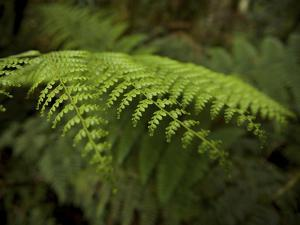 Fern in the Upper Montane Rain Forest in the Yus Conservation Area by Tim Laman