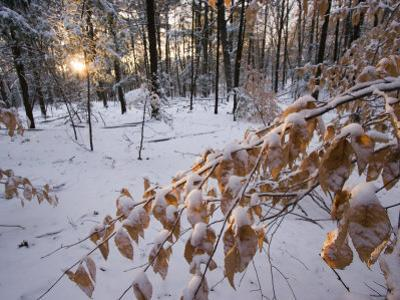 Fresh Snow in the Woods, Lexington, Massachusetts by Tim Laman
