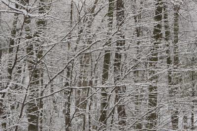 Fresh snow on tree branches around Walden Pond. by Tim Laman