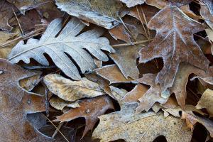 Frost coats various fallen leaves on the shore of Walden Pond. by Tim Laman