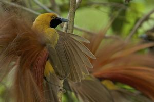 Goldie's Bird of Paradise at Display Site in the Canopy Performing their Courtship Display by Tim Laman