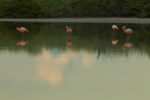 Greater Flamingos, Phoenicopteriformes Roseus, Resting and Grooming While Standing in Water by Tim Laman