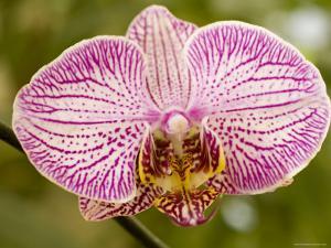 Hybrid Domesticated Orchid, Lexington, Massachusetts by Tim Laman