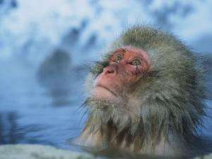 Japanese Macaque, or Snow Monkey, Soaking in a Hot Spring by Tim Laman