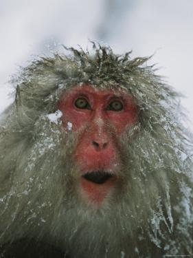 Japanese Macaque, or Snow Monkey, with Ice Tipped Fur by Tim Laman