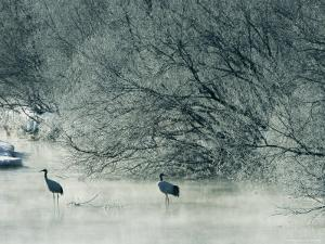 Japanese or Red-Crowned Cranes Wade Through Mist Rising on a River by Tim Laman