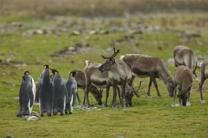 King Penguins, Aptenodytes Patagonicus, Among Grazing Caribou, Rangifer Tarandus by Tim Laman