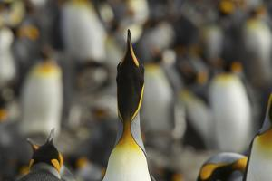 King Penguins, Aptenodytes Patagonicus, in their Rookery by Tim Laman