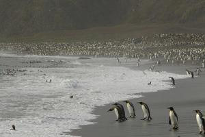 King Penguins, Aptenodytes Patagonicus, on a Beach by Tim Laman
