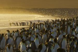 King Penguins, Aptenodytes Patagonicus, on the Beach and in the Surf by Tim Laman