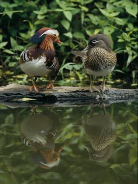 Male and Female Mandarin Ducks on a Log by Tim Laman