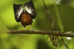 Male Club-Winged Manakin (Machaeropterus Deliciosus) Hitting Wings Together To Attract Mate by Tim Laman