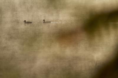 Mallards, Anas platyrhynchos, at the misty Walden Pond. by Tim Laman