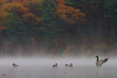 Mallards, Anas platyrhynchos, in the morning mist. by Tim Laman
