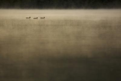 Mallards glide through the morning mist on Walden Pond. by Tim Laman