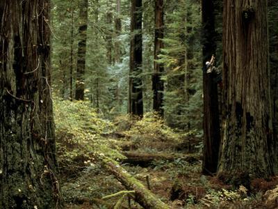 Man Climbing a Giant Redwood Tree by Tim Laman