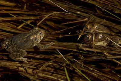 Mating toads and an observer.  Wyman Meadow at Walden Pond. by Tim Laman