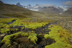 Moss and a Small Stream in the Alpine Landscape of South Georgia Island by Tim Laman