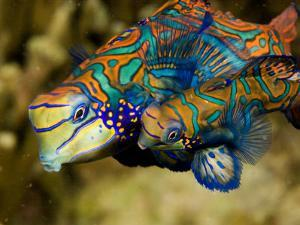 Pair of Mandarinfish Swim Close Together Prior to Spawning, Malapascua Island, Philippines by Tim Laman