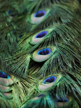 Peacock Feather Detail by Tim Laman