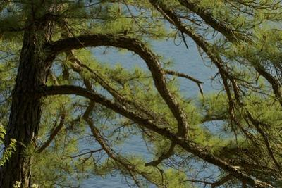 Pine branches frame the waters of Walden Pond. by Tim Laman
