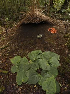 Piper Leaves, Orange Fungi and Berries Mark a Male Vogelkop's Bower by Tim Laman