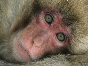 Portrait of a Japanese Macaque, or Snow Monkey by Tim Laman