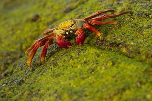 Portrait of a Sally Lightfoot Crab, Grapsus Grapsus, on an Algae Covered Rock by Tim Laman