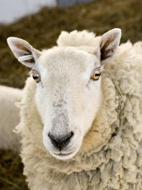 Portrait of a Sheep with Ear Tag, Pennsylvania by Tim Laman