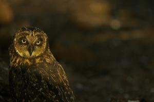 Portrait of a Short-Eared Owl, Asio Flammeus Galapagoensis, in Warm Sunlight by Tim Laman