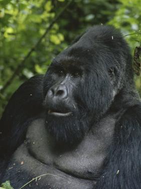 Portrait of a Silverback Mountain Gorilla, Gorilla Gorilla Beringei by Tim Laman