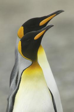 Portrait of Two King Penguins, Aptenodytes Patagonicus by Tim Laman