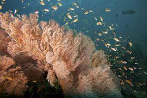 Reef Scene of Sea Fans and Schools of Anthias Fish by Tim Laman