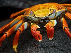 Sally Lightfoot Crab, Grapsus Grapsus, Foraging on Volcanic Rock by Tim Laman