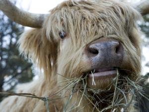 Scottish Highland Bull by Tim Laman