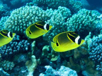 Several Racoon Butterflyfish, Takapoto Atoll, French Polynesia by Tim Laman
