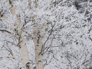 Snow Covered Birch Trees in the Forest of Madonna Mountain by Tim Laman