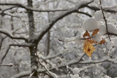 Snow covered trees with two dry leaves still hanging on. by Tim Laman