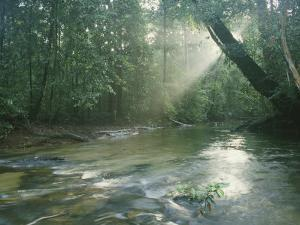 Sunlight Streams Through a Rainforest onto a Rushing Stream by Tim Laman