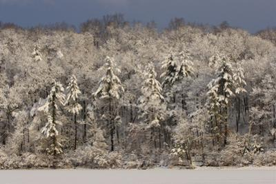 Sunrise illuminates the forest after a winter storm at Walden Pond. by Tim Laman
