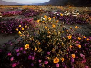 Sunrise on Desert Wildflowers: Sunflowers, Primrose, Sand Verbena by Tim Laman