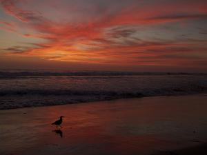 Sunset over the Pacific Ocean with a Heermann's Gull on the Beach by Tim Laman