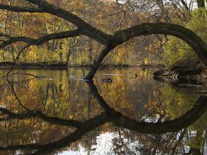 The Arched Trunk of a Tree Leaning over the Assabet River by Tim Laman