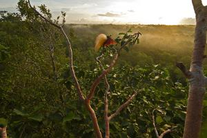 The courtship display of a greater bird of paradise. by Tim Laman