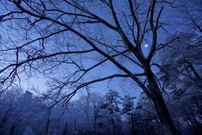 The moon shines through snow-covered trees. by Tim Laman