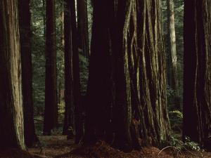 This Redwood Stand Is the Tallest Group in the World at over 350 Feet by Tim Laman