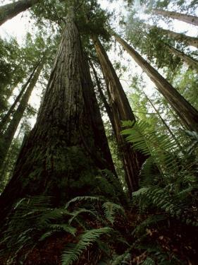 This Redwood Stand Is the Tallest Group in the World at over 350Ft by Tim Laman