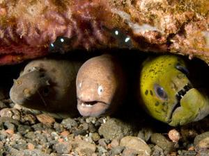 Three Species of Moray Eel All Sharing the Same Hole, Bali, Indonesia by Tim Laman