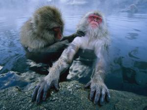 Two Japanese Macaques, or Snow Monkeys, Enjoy a Dip in a Hot Spring by Tim Laman