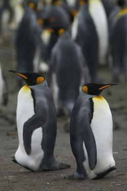 Two King Penguins, Aptenodytes Patagonicus, in their Rookery by Tim Laman